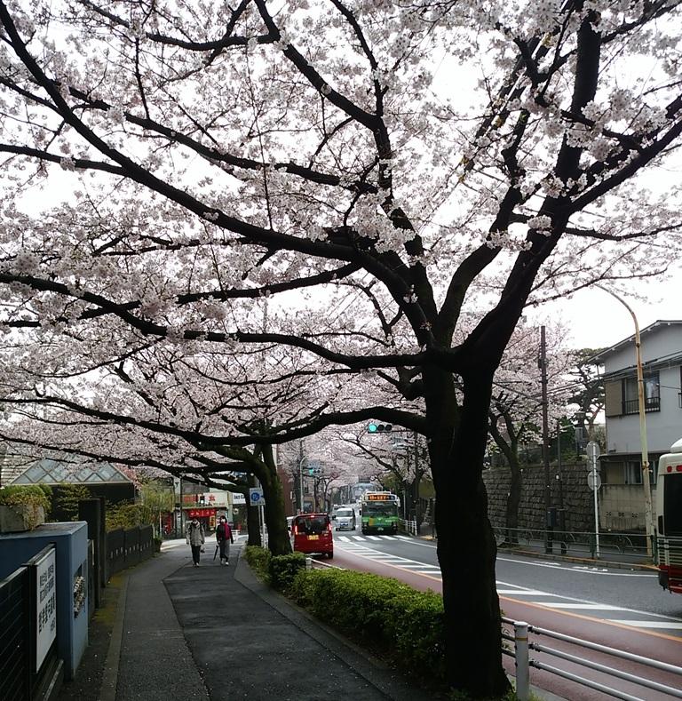 中野通り桜(新青梅街道)