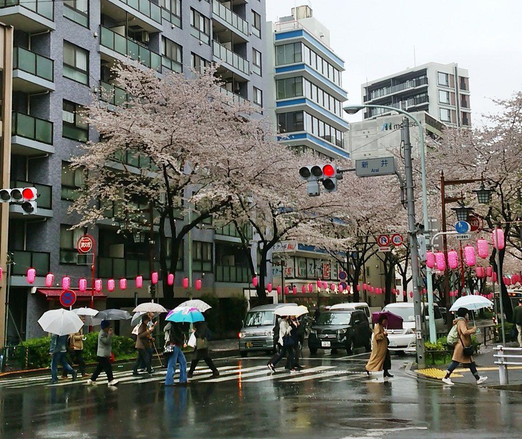 中野通り桜(早稲田通り)