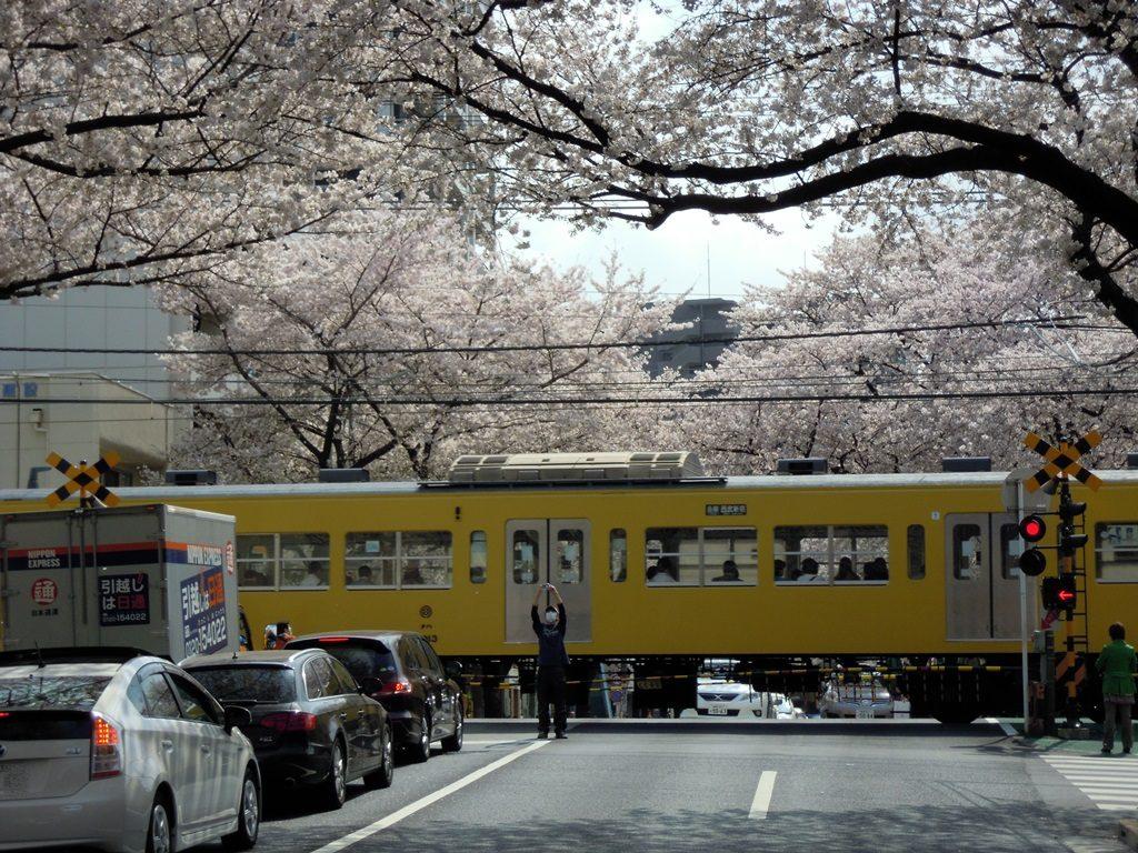 中野通り桜(西武新宿線)