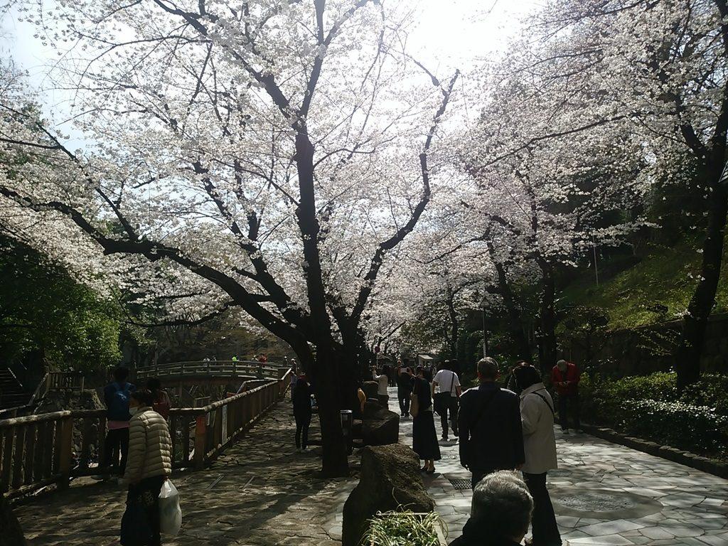 音無親水公園の桜2