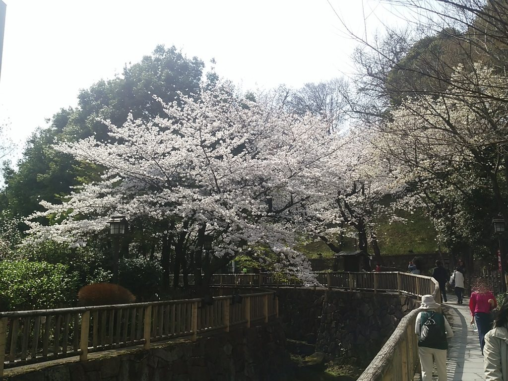 音無親水公園の桜