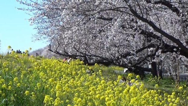 熊谷桜堤の桜と菜の花