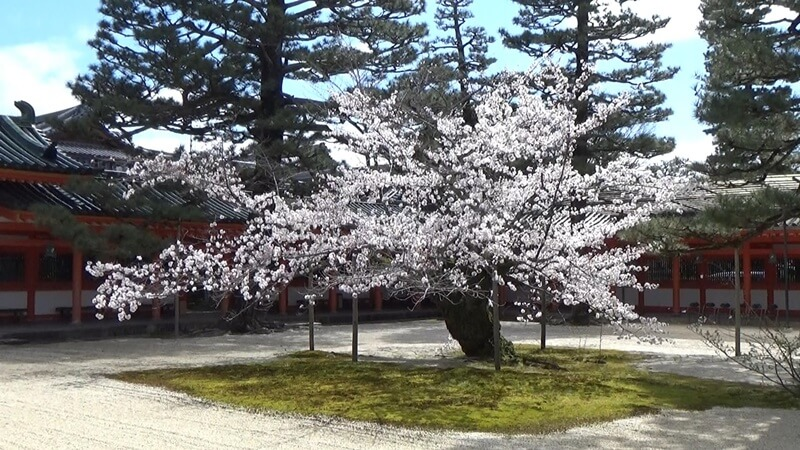 平安神宮桜