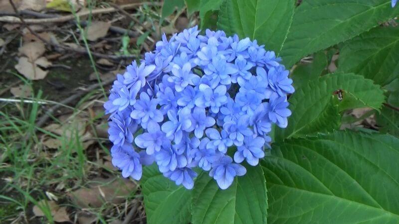 花びらの小さいアジサイ